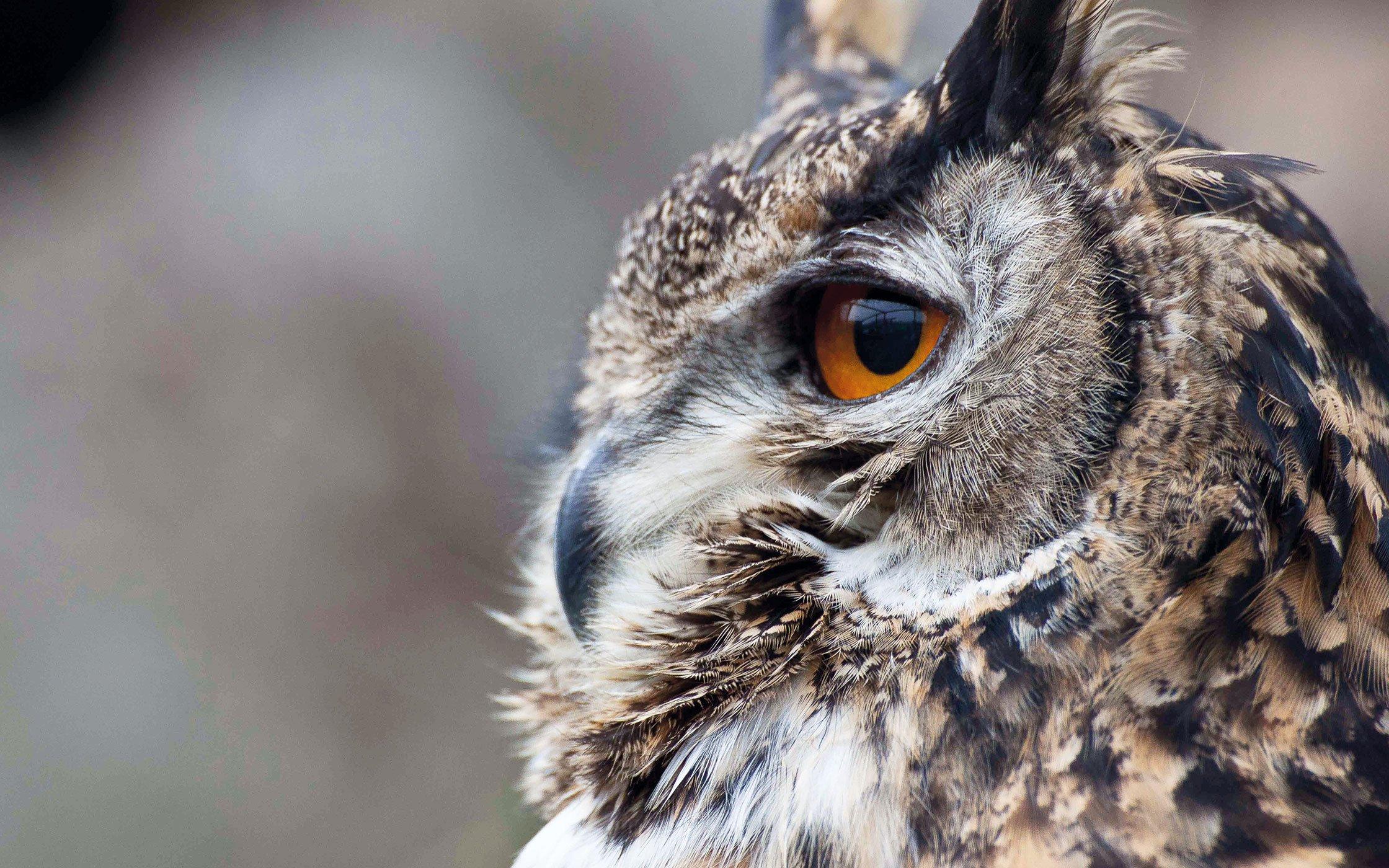Owl - profile view